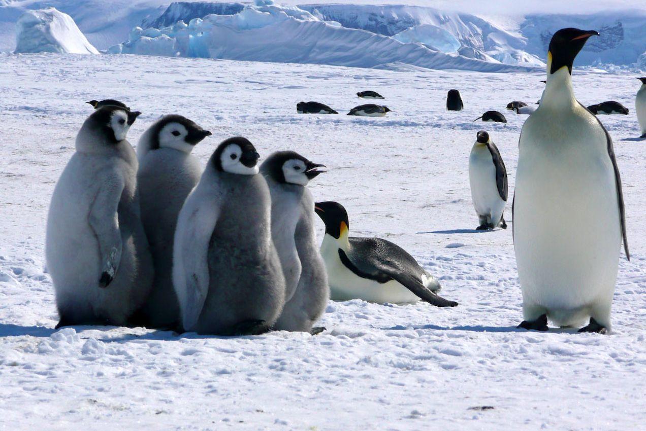 empereurs de l 39 antarctique. Black Bedroom Furniture Sets. Home Design Ideas